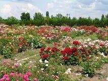 Gartenrosen - Eutopia-Garten - Arad, Rumänien lizenzfreies stockfoto