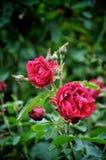 Gartenrotrose lizenzfreies stockbild