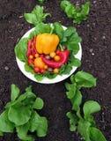 Gartensalat Lizenzfreies Stockbild