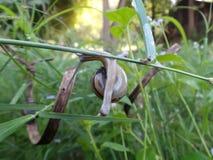 Gartenschnecke auf einem Zweig stockfoto