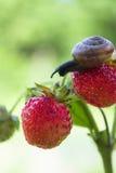 Gartenschnecke, die auf eine Erdbeere kriecht Lizenzfreies Stockfoto