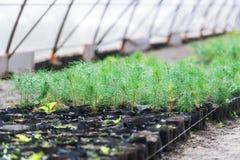 Gartenshop Eine Reihe von Tannenbäumen in den Töpfen bot für Verkauf an Lizenzfreies Stockfoto