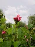 Gartenstrauchrosen lizenzfreies stockfoto