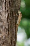 Gartenzauneidechse auf der Seite eines Baums Stockfotos