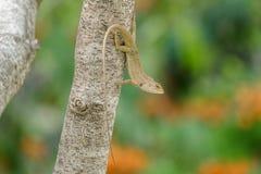 Gartenzauneidechse, die unten von einem Baum hängt Stockbild