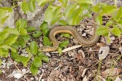 Garter φίδι στη βούρτσα Στοκ εικόνα με δικαίωμα ελεύθερης χρήσης