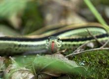 garter φίδι Στοκ Εικόνες