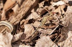 Garter φίδι Στοκ Εικόνα