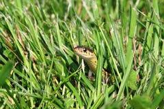Garter φίδι Στοκ φωτογραφία με δικαίωμα ελεύθερης χρήσης
