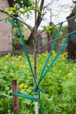 Garter branches of fruit trees Royalty Free Stock Images