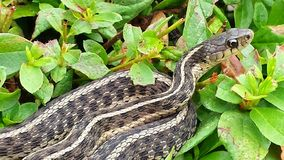 Garter or Gardener Snake Coiled in a Bush Royalty Free Stock Images