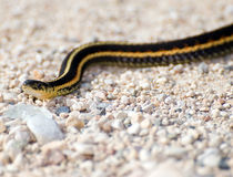 Garter Snake. Closeup view of a garter snake slithering across some stones outside Stock Photography
