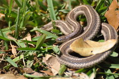 Garter Snake. A garter snake in the grass with leaves Royalty Free Stock Images