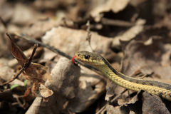 Garter Snake. On Leaves In Morning Sun Royalty Free Stock Photography