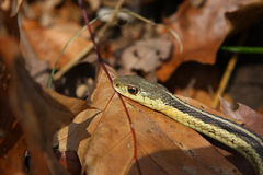 Garter Snake. On Oak Leaves In Morning Sun royalty free stock photos