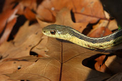 Garter Snake Royalty Free Stock Photography