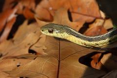 Garter Snake. On Oak Leaves In Morning Sun royalty free stock photography