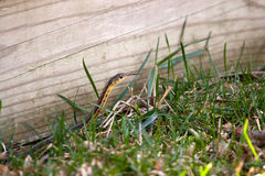 Garter Snake. A black and yellow North American Garter snake slithering through the green grass.  Shallow depth of field Stock Images