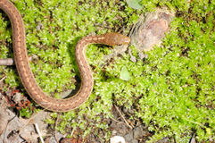Garter Snake Stock Image