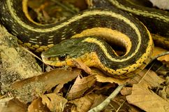 Garter Snake. Crawling along the forest floor Royalty Free Stock Photo