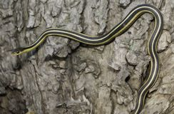 Garter Snake. The Common Garter Snake (Thamnophis sirtalis) on tree trunk. Garter Snake  is a non-venomous snake indigenous to North America. Most garter snakes Royalty Free Stock Photos