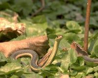 Garter Snake. On the woods floor Stock Photography