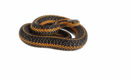 Garter snake. Looking on the food isolated on the white background Royalty Free Stock Photos