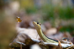 Garter snake amongst the leaves Stock Images