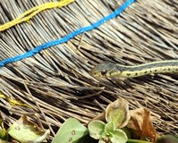Garter snake and broom Royalty Free Stock Photos