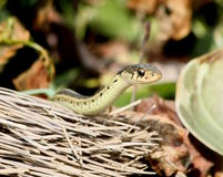 Garter snake and broom Stock Photos