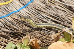 Garter snake and broom Stock Images