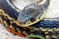 Garter Snake Close up Royalty Free Stock Photos