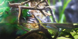 Garter Snake Royalty Free Stock Photo