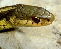 Garter Snake Stock Photos