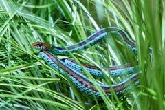 Garter snake. Common garter snake in the grass stock photography