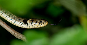A garter snake Royalty Free Stock Photos