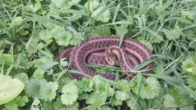 Garter snake. In the grass royalty free stock image