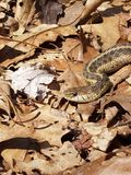 Garter snake. Warming itself on a spring day Stock Photography