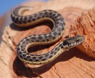 Garter snake is on gaurd Stock Image