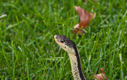 Garter Snake in Grass. A close up photo of the head of a common garter snake in the grass Royalty Free Stock Photo