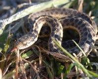 Garter snake in the grass. Garter snake using its smelling senses Stock Images