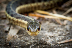 Garter Snake Head Shot Stock Photography