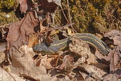 Garter Snake Hiding in the Leaves Stock Images