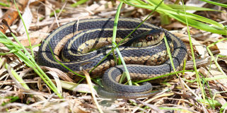 Garter Snake in Illinois Royalty Free Stock Photos