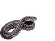 Garter snake isolated. Photo of a common garter snake isolated over a white background in a strike pose. includes a clipping path stock photography