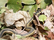 Garter snake in leaves Royalty Free Stock Photography