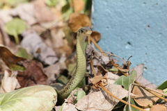 Garter snake peek Stock Images