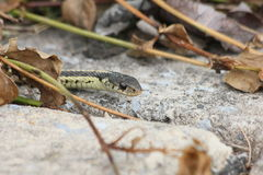 Garter snake peek Royalty Free Stock Photography