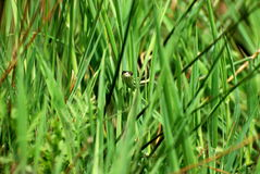 Garter snake peers through tall grass Stock Photography