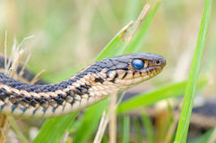 Garter Snake Portrait. Photograph of the head of a Plains Garter Snake in a midwestern prairie, with a clouded over bluish eye suggesting its near shedding stock images
